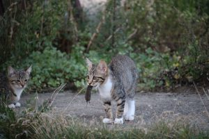 chat qui chasse les souris