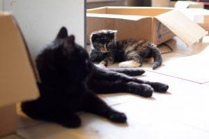 la cohabitation entre chats, tout savoir