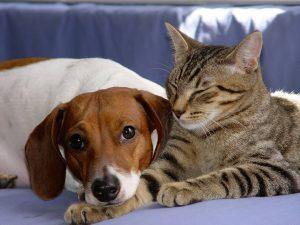 présenter un chat à un chien