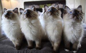 Chats d'élevage