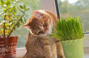 tout savoir sur l'herbe à chat