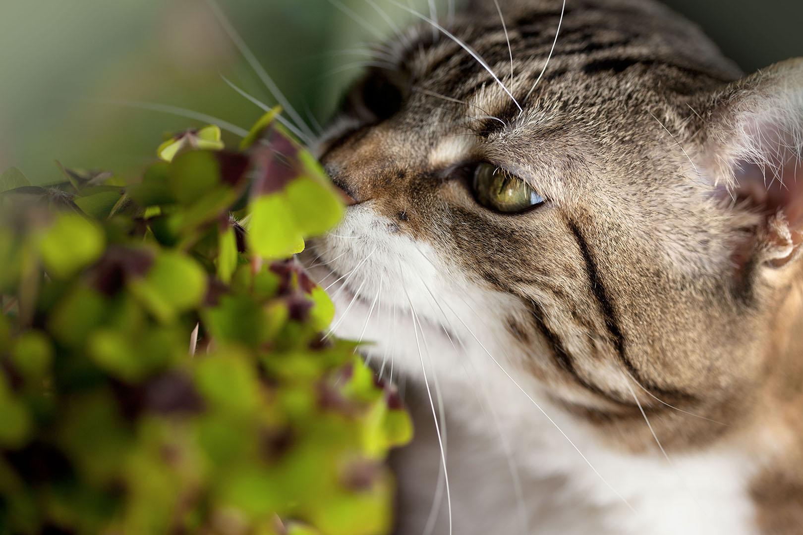 Pourquoi le chat mange les plantes   - Lesiteduchat.com ec51f815dc87