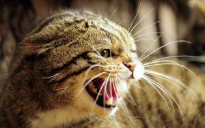 Chat qui mord et griffe