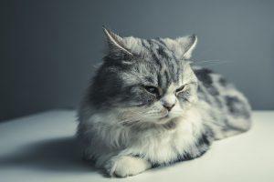 perte d'appétit chez le chat