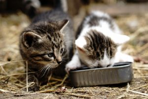 Le comportement alimentaire du chat