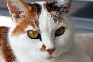 l'allaitement de la chatte