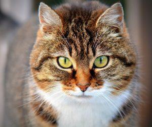les dangers des contraceptifs pour chat