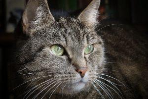 l'euthanasie du chat
