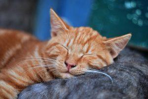 repères olfactifs du chat